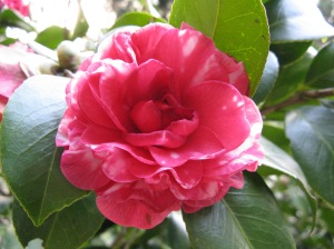 The camellia, Mum's favourite flower